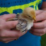 Hühner sind geschlüpft